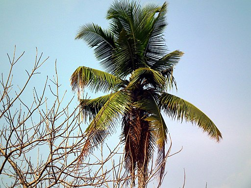 Coconut tree remedy psoriasis naturally