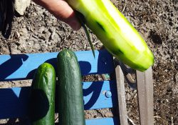How to Cure Psoriasis With Cucumbers for lunch
